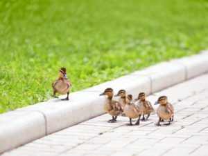 ducks-walking-in-a-row